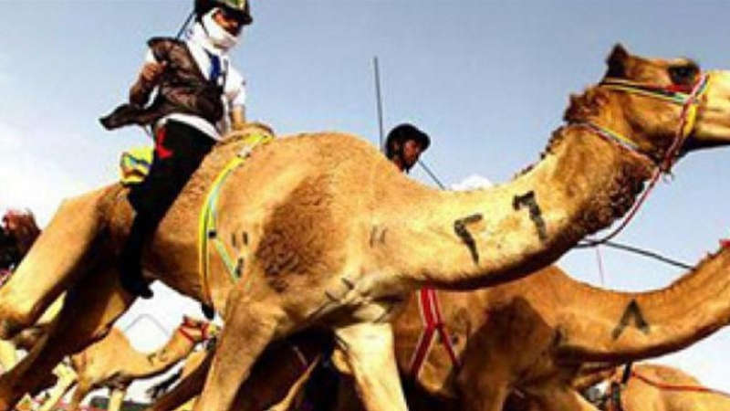 Camel Racing - All You Need To Know   Chase Your Sport